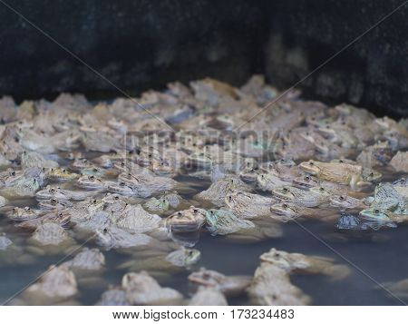 Adult frogs in farm pond for breeding and sell in Thailand. Adult frogs is raw material of Thai hot and spicy fried food.