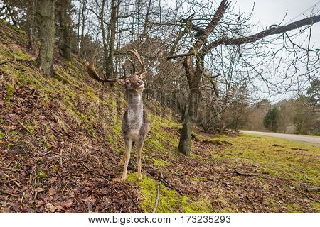 Fallow deer lifting its head and antler in natural forest background. Frontal view with eye contact
