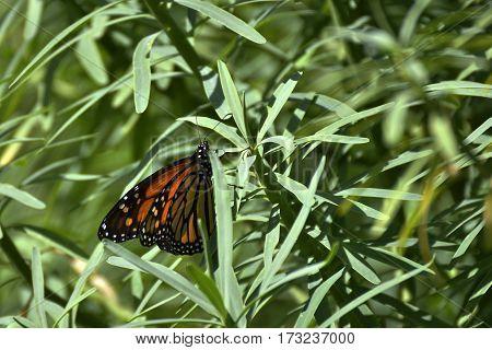 Monarch butterfly (Danaus plexippus) sitting in a busch in Tenerife Spain.