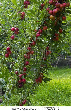 Rich plum(alycha) tree branches in the garden