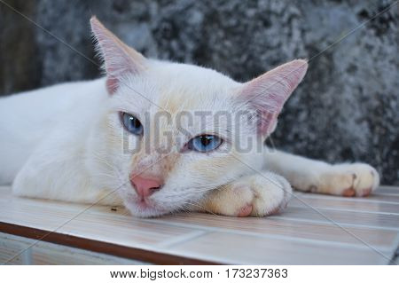 White cat with blue eyes look something.