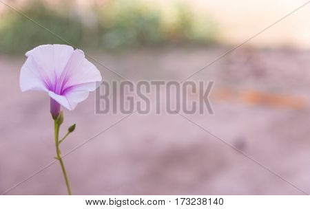 Morning glory flower in field on the morning.