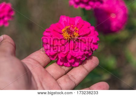 Cosmos Flower On Hand(cosmos Bipinnatus) With Blurred Background