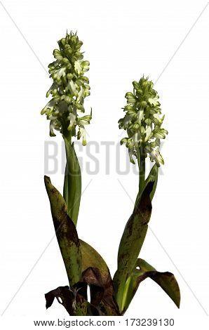 White Giant Orchid Plants Over White - Himantoglossum Robertianum