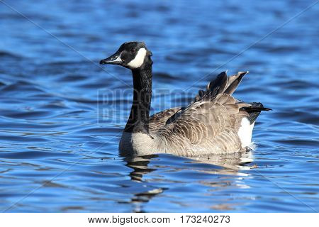 A Canada goose with ruffled feathers swimming on a pond on a windy day