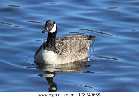 A Canada goose swimming on a pond in winter