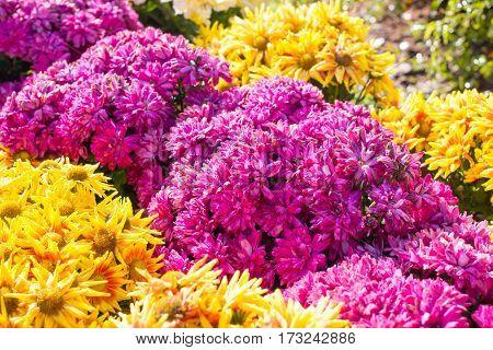 The Chrysanthemum flower bed in garden for background