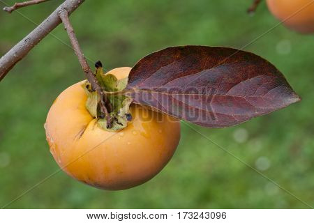 Ripe Kaki Fruit on the Twig with Leaf