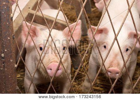 Little Pigs In The Pen