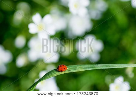 fresh green grass with ladybugs and white flowers on background.