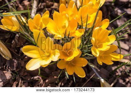 yellow crocuses in spring garden close up