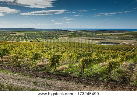 Vineyards, Province Of Trapani In Sicily, Italy