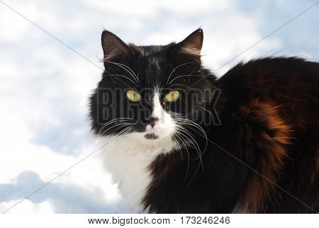 Black Siberian Cat resting in the snow