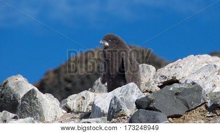 Adelie penguin chick on Devil Island in Antarctica