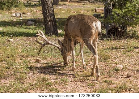 a big mule deer buck grazing in the forest