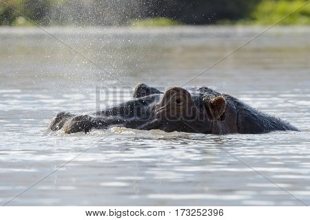 Hippopotamus (Hippopotamus amphibius) breathing at water surface Ngorongoro crater Tanzania.