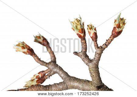 Fruit-tree Blossom Buds