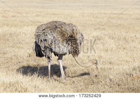 Ostrich (Struthio camelus) female foraging on the savanna plaines Ngorongoro crater Tanzania.