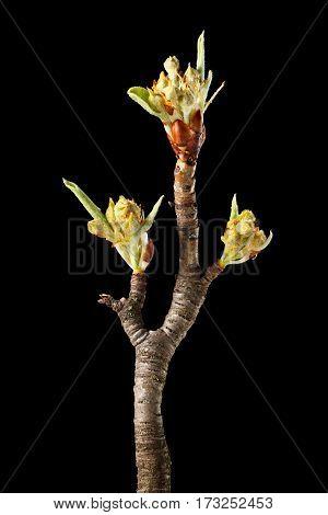 Three Flower Buds