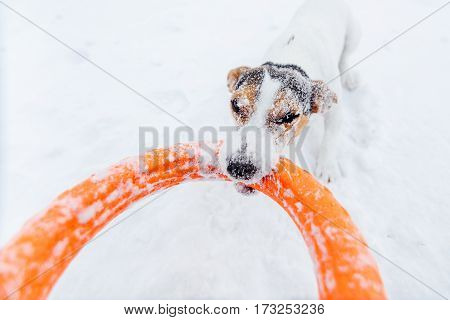 Stubborn Jack Russell in the snow plays with his toy by dragging it from the hands. Shot by wide angle lens.