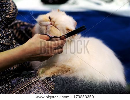Persian cat at cat show in Moscow.