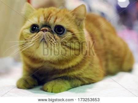 Exotic Shorthair at cat show in Moscow.
