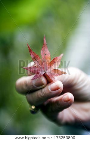 Hand-picked red Japanese maple leaves during autumn in Kyoto Japan