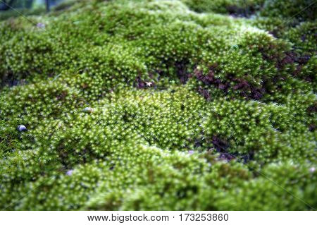 Close Up Of Green Moss With Natural Soft Background