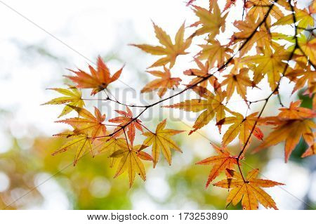 Gold Japanese Maple Leaves During Autumn In Kyoto, Japan