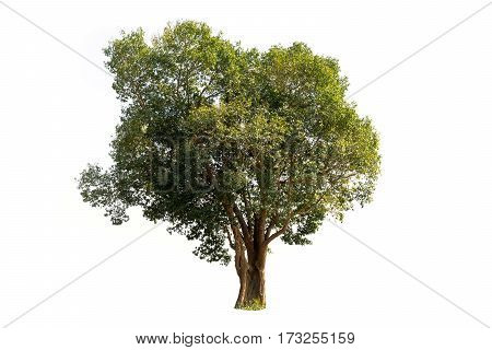 Tree isolated on white background copy space