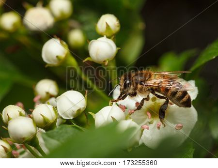 Closeup of bee (Apis mellifera) on flowering hawthorn (Crataegus monogyna)
