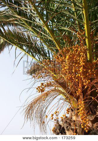 Cretan Palm