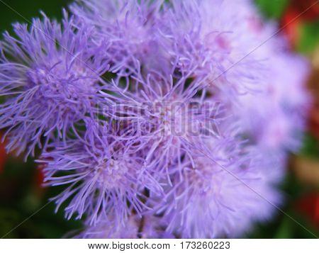 Violet flowers in the garden blurred macro photo