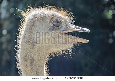 Head of a young ostrich closeup on the bright sun