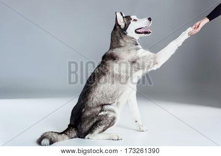 Alaskan Malamute sitting on the floor, giving paw, on gray background. Husky