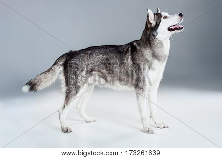 Alaskan Malamute standing, sticking the tongue out, on gray background. Husky