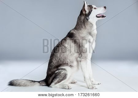 Alaskan Malamute sitting on the floor, sticking the tongue out, on gray background. Husky