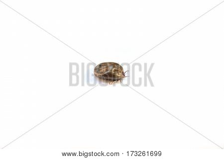 Dog tick blood sucked insect on white background isolated