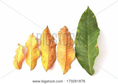 Tropical dry leaves and green leave on white background isolated