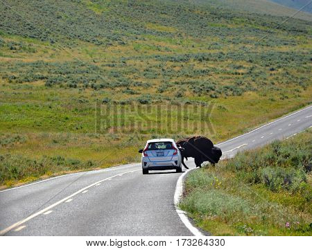 Bison stops car as it crosses the road in Yellowstone National Park in Wyoming.
