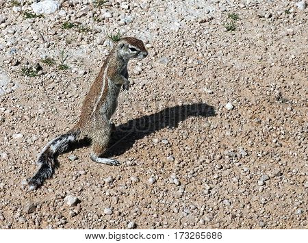 Standing gopher on the groundin the Namib desert Namibia