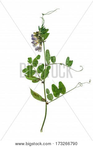 Pressed and dried flowers pods of forest peas on a stalk with green leaves solated on white background. For use in scrapbooking floristry (oshibana) or herbarium.