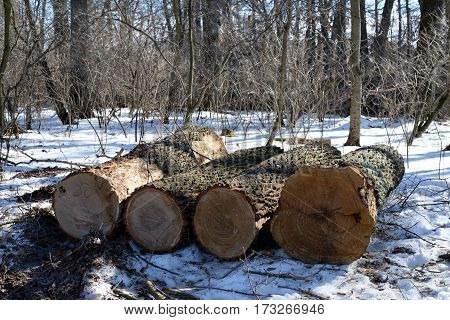 Pile of felled oak logs in the forest