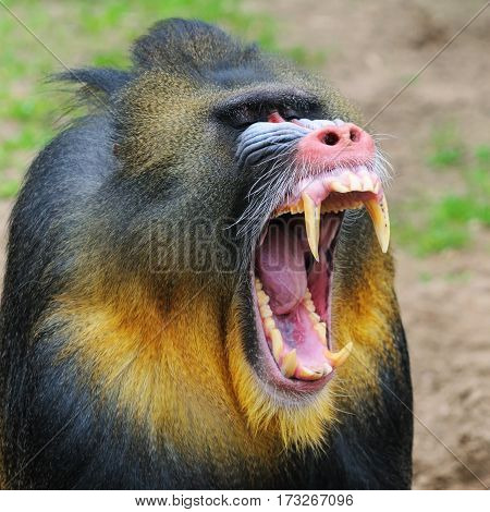 Portrait of the yawning adult male mandrill, The Netherlands