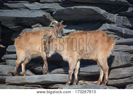 Wild goats(Capra aegagrus) are animals of mountain habitats. They are very agile and hardy, able to climb on bare rock and survive on sparse vegetation.