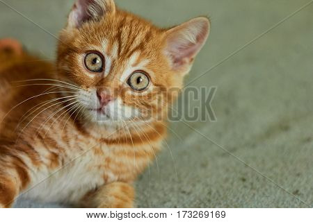 little red-headed cat lies on a bed and looking up