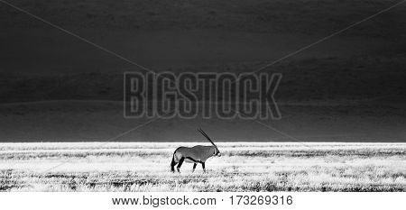 Proud Oryx gemsbok walks on grass savanna.