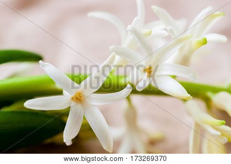 Spring flowers of Hyacinth on light background, close up. Delicate floral background. Spring, tenderness, purity, wedding concept.