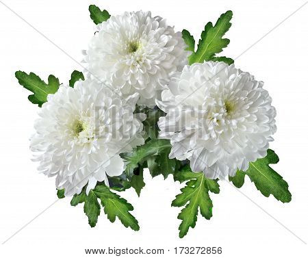 Three white chrysanthemums bouquet with green leaves close up isolated on a white background