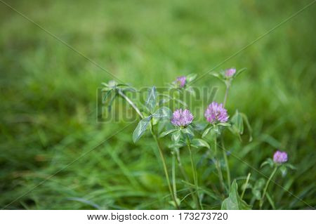 Beautiful Nature Background Fresh pink clover Flower close up. Horizontal Colorful Wallpaper with selective focus.
